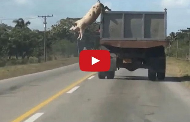 Pig, Jumps From Truck En Route to Slaughterhouse